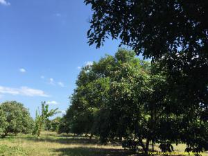 ที่ดิน 800000 จันทบุรี วังแซ้ม มะขาม