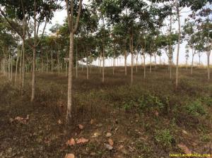ไร่สวน 980000 เชียงราย เมืองเชียงราย ป่าอ้อดอนชัย