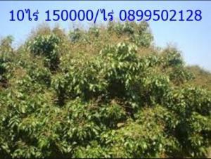 ไร่นา 150000 เชียงใหม่ ดอยสะเก็ด ป่าเมี่ยง