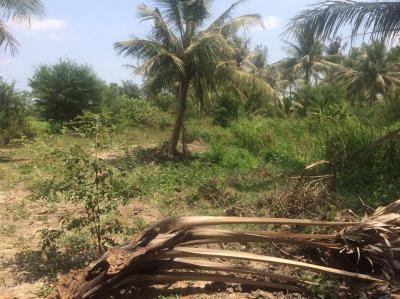 ที่ดิน 300000 เพชรบุรี เมืองเพชรบุรี ต้นมะพร้าว