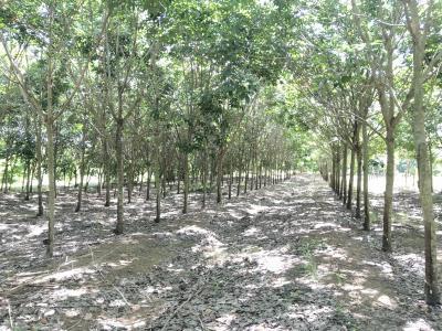 ไร่สวน 2295000 จันทบุรี สอยดาว ทับช้าง