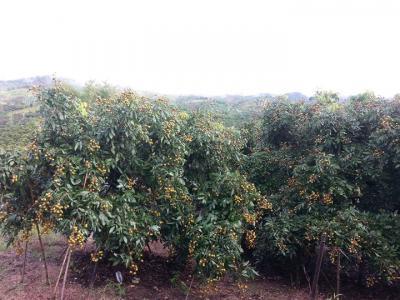 ไร่สวน 600000 เชียงราย แม่สรวย