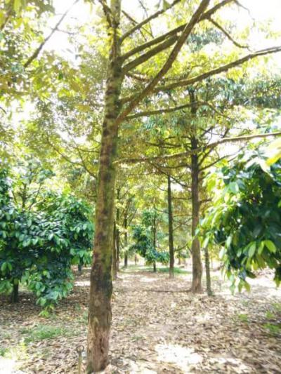 ไร่สวน 4000000 จันทบุรี มะขาม มะขาม