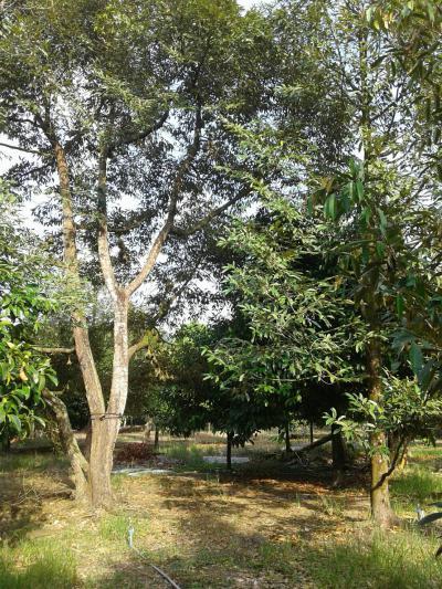 ไร่สวน 9900000 จันทบุรี มะขาม วังแซ้ม