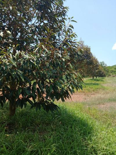 ไร่สวน 10000000 จันทบุรี ท่าใหม่ ทุ่งเบญจา