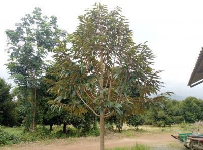 ไร่สวน 6000000 จันทบุรี เมืองจันทบุรี คมบาง